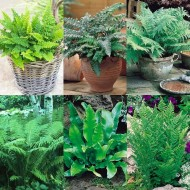 Fern Plant Collection - FIVE Fabulous Ferns in Contrasting Varieties
