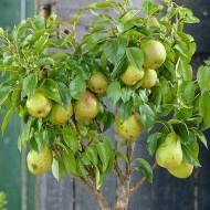 Patio Fruit Tree - Compact Williams Pear Tree
