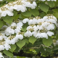 Viburnum plicatum Watanabe - Japanese Snow Bush