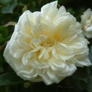 Large 5-6ft Specimen Climbing Rose - Rose Alberic Barbier - Rambling Rose