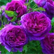 Rose Ebb Tide - Floribunda Rose