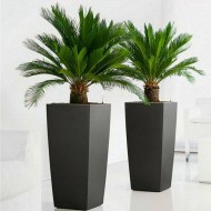 Pair of King Sago Palm Trees - Cycad - Cycas revoluta 50-60 cms with Flared Black Planters