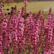 Salvia nemerosa x superba Pink - Rose Queen Salvia