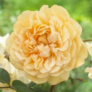Rose Buff Beauty - Hybrid Musk Bush Rose