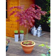 Large 100cm Weeping Acer Japanese Maple Trees - Firecracker