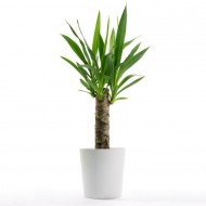 Indoor Yucca Tree - Perfect to Brighten up the Home in Classic White Display Pot