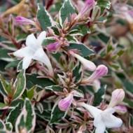 Abelia grandiflora Confetti - Large