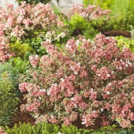 Abelia x grandiflora Magic Daydream