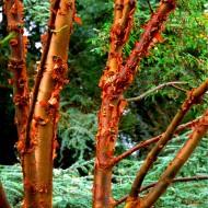 Acer griseum - Paperbark Maple - LARGE SPECIMEN