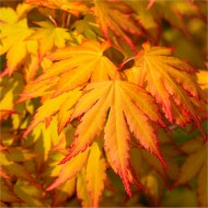 Acer palmatum Cascade Gold - Golden Foliage Weeping Waterfall Japanese Maple - LARGE Tree