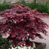 Acer palmatum atropurpureum - Purple Japanese Maple - Brilliant Red Autumn Colour