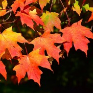 Acer saccharum - Grow your own Maple Syrup Tree!