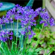 Agapanthus Brilliant Blue - Hardy Blue Nile Lily