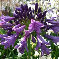 Agapanthus Poppin Purple - Hardy Nile Lily