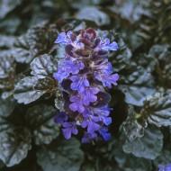 Ajuga reptans 'Braunhertz' - Evergreen Bugle Plant