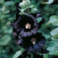 Alcea rosea Nigra - Black Hollyhock (Althea)