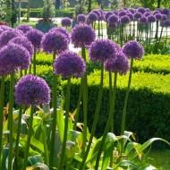 Allium Globemaster - Giant Globe Allium