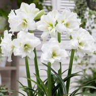 Amaryllis - White Nymph - DOUBLE WHITE - Hippeastrum Bulb
