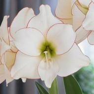 Amaryllis - PICOTEE - Gift Boxed Hippeastrum Bulb