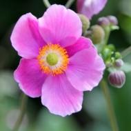 Anemone hupehensis Alando Pink - Windflower