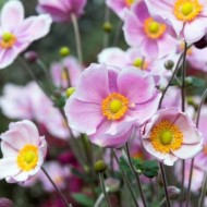 Anemone hupehensis Alando Rose - Windflower