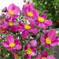 Anemone hupehensis 'Red Riding Hood' - Japanese Anemone - Windflower