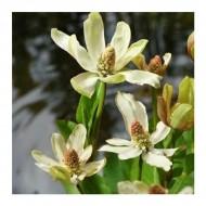 Complete Water Plant Pond Kit - Anemopsis