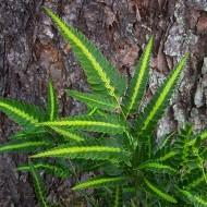 Arachniodes aristata variegata - Evergreen East Indian Holly Fern