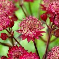 Astrantia major Star of Love - Pincushion Flower