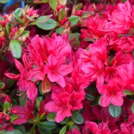 Azalea japonica Red Evergreen Japanese Azalea