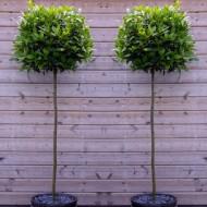 A Pair of Full Standard Bay Trees (Laurus nobilis)