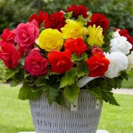 Double Begonia Mixed - Pack of TEN