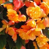 Begonia Illuminating Apricot Shades - Pack of THREE