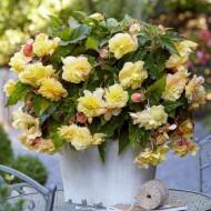 Begonia odorata Sunny Dream - Pack of 2