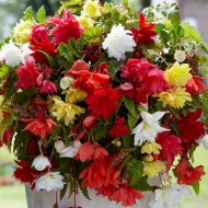 Begonia Pendula Mixed - Pack of TEN