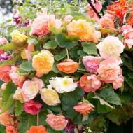 Begonia Special Cascade Pastel Mixed - Pack of THREE