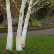 Betula utilis var. jacquemontii 'Doorenbos' - White Bark West Himalayan Birch Tree
