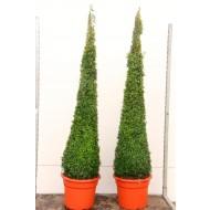 Contemporary Topiary Box Pyramid - Premium Quality Topiary Buxus - Exclusive PENCIL PYRAMID - XXXL 160-180cms