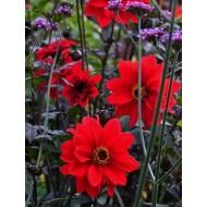 Dahlia Bishop of Llandaff - Red Flowering Bronze Leaved Dahlia Plant