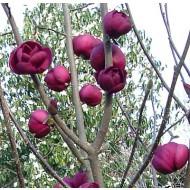 Magnolia Tree Black Tulip