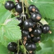 Ribes nigrum - Blackcurrant Standard Fruit Tree
