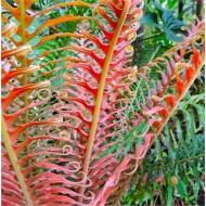 Blechnum brasiliense 'Volcano' - Red Brazilian Tree Fern