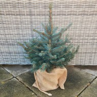 Christmas Tree - Potted Blue Spruce in Jute Wrapped Pot - For Immediate Delivery
