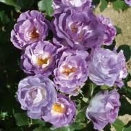 Rose Blue for You - Bush Rose