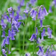 English Bluebells - Hyacinthoides non-scripta