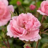 Large 6-7ft Specimen - Climbing Rose Bonica - Soft Pink Flowers