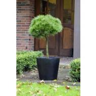 Pinus nigra 'Brepo' - Lollipop Patio Tree