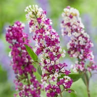 Buddleja - Berries & Cream - New Buddleia Butterfly Bush with multi-shaded flowers