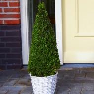 Contemporary Topiary Box Pyramid - Premium Quality Topiary Buxus - 100cm Pyramid