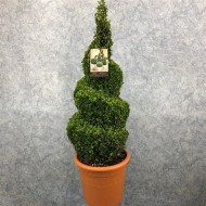 Spiral Topiary Buxus - Corkscrew Box wood Tree - Circa 100cms